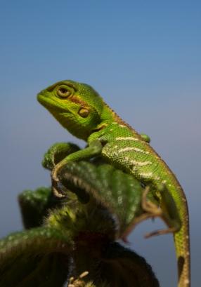 Pygmy Lizard.jpg